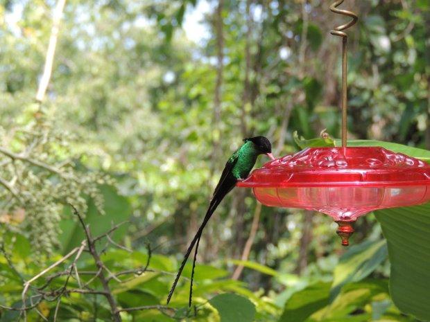 Jamaica's national bird, the Doctor Bird/Swallowtail Hummingbird.