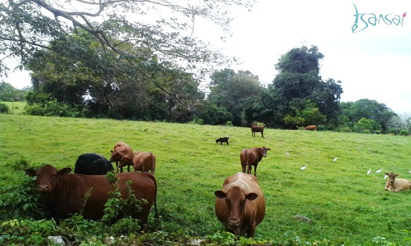 Prospect-St-Mary-Jamaica-cows-grazing